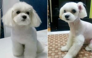 chirurgie esthétique pour les chiens avant et apès